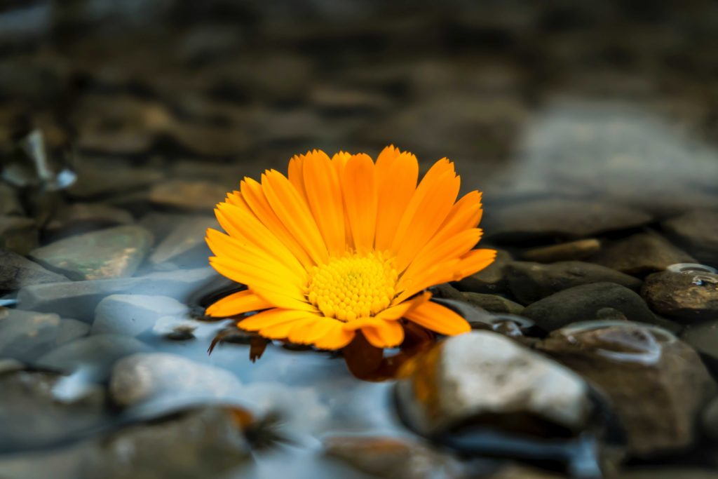 Flower sitting on pebbles and water.