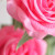 Avatar of rosepetal098